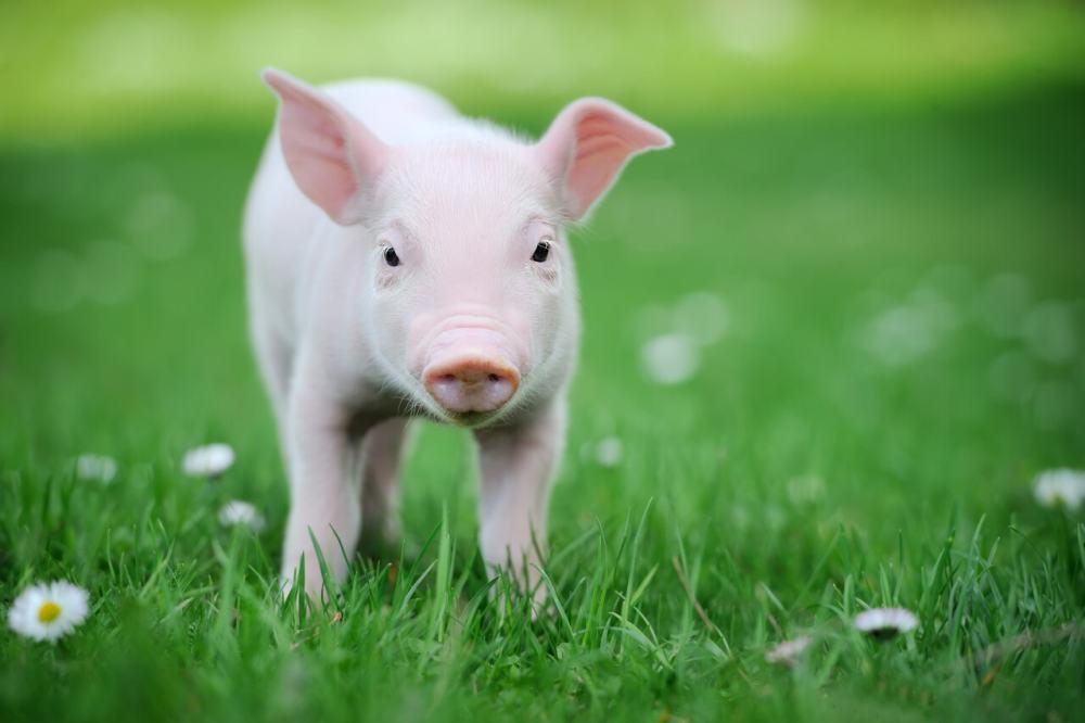 2020年,骄傲的90后会选择养猪吗?